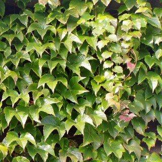 wilder wein veitchii schnellwachende kletterpflanzen hausundgartenjetzt. Black Bedroom Furniture Sets. Home Design Ideas