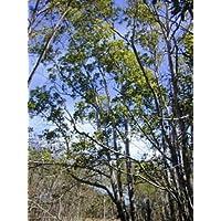 Akazie (Acacia mangium) 10 Samen -Pea Familie- -Selten-