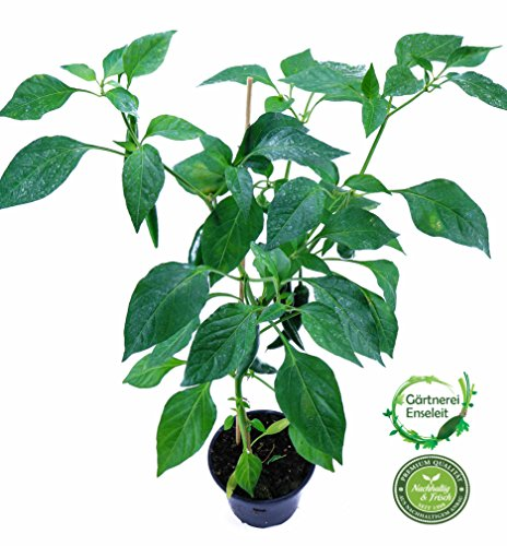 Cayenne-Chili Peperoni Fireflame F1, Chili Pflanze aus Nachhaltigem Anbau!