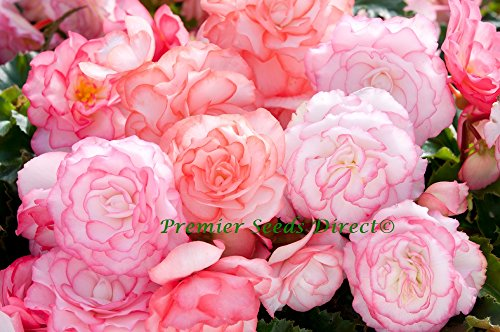 premier-seeds-direct-f1-begonia-tuberous-on-top-pink-halo-pellets-pack-of-15