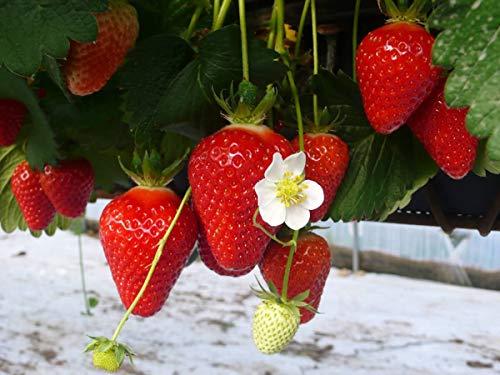 20 Clery Erdbeerpflanzen - Frigo Plus Pflanzen - Pflanzzeit: März/April - Ernte: Beginn Juni - Erdbeersetzlinge/Erdbeerstecklinge - Erdbeerprofi.de