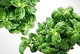 Basilikum (Genovese) - 100+ Samen - Küchenkräuter