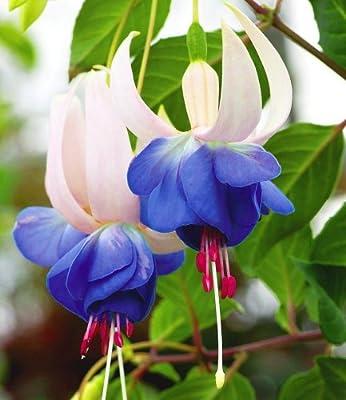 BALDUR-Garten Winterharte Fuchsien 'Blue Sarah', 3 Pflanzen Fuchsia von Baldur-Garten bei Du und dein Garten