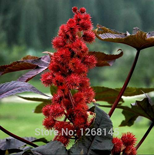 Pinkdose 10pcs Red Castor Bean, Verwendet Medicinal Ricinus Communis Kräuter Zierpflanze freies Verschiffen Hausgarten -