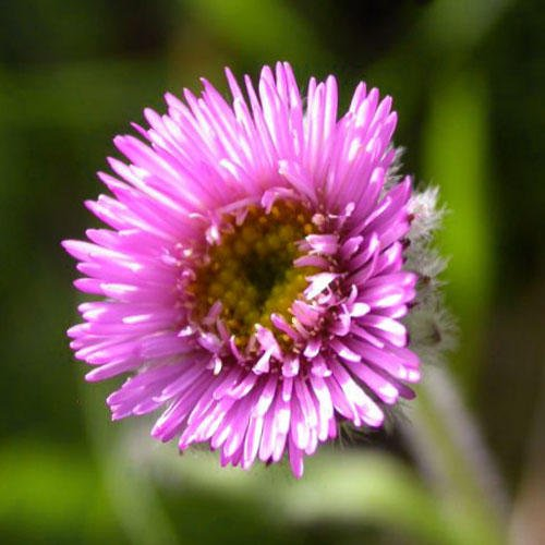 erigeron-borealis-seeds