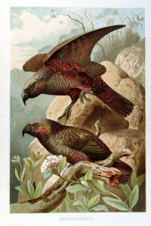 Nestorpapagei - Nachdruck einer Chromolithografie - Illustrationstafel aus: Brehm´s Tierleben (1891) - 20x30 cm