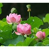 Asklepios-seeds® - 50 semillas Nelumbo nucifera loto sagrado