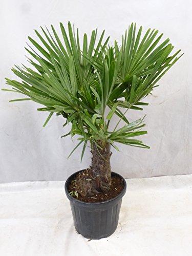 [Palmenlager] – Winterharte Palme -Trachycarpus fortunei- 140 cm – dicker Stamm 40 cm/Chinesische Hanfpalme – 17°C