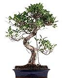 Bonsai - Ficus microcarpa (retusa), Chinesische Feige 196/15