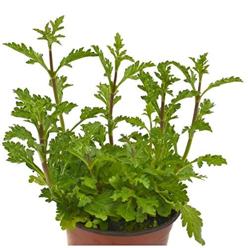 Verbena Planta Natural