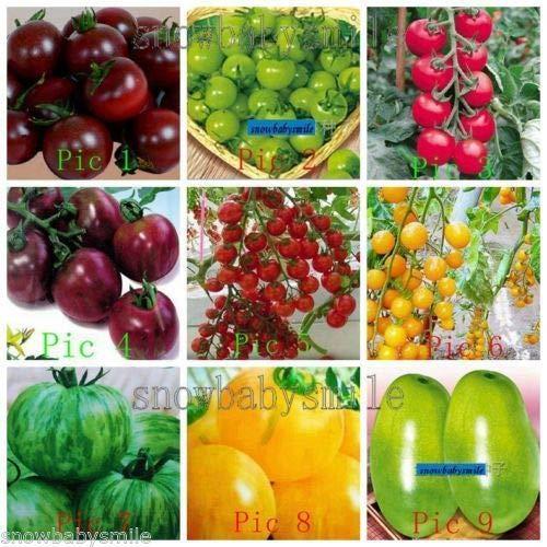 Portal Cool # 17 große orange Tomate 100 Ich.: 33 Arten Tomatensamen Schwarz Lila Pink Cherry-Frucht-Gemüse Bio-Heirloom - Orange Cherry-tomaten