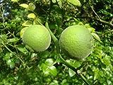 3 SEEDLINGS OF HARDY LEMON OR JAPANESE BITTER ORANGE PONCIRUS TRIFOLIATA Japanese exotic shrub plant great for BONSAI or HEDGING