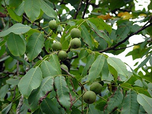 Echte Walnuss Juglans regia Pflanze 20cm Walnussbaum Welschnuss Baumnuss