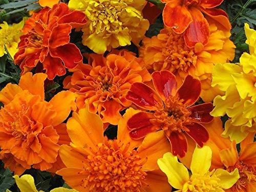Fash Lady Mixed Ringelblume Samen, Bauernhof Mix, Bulk Seed, Französisch Ringelblumen, Erbstück Samen 500ct