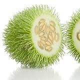 Ziergurke – Igel-Gurke – Cucumis dipsaceus – Samen