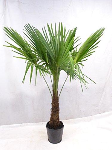 [Palmenlager] - Winterharte Palme - Trachycarpus fortunei 180/200 cm - Stamm 50 cm // -17°C