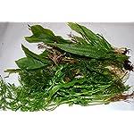 Biotope Aquatics Ltd - 50 Live Aquarium Plants Tropical Aquatic Plants for your fish tank - rooted and stems 11