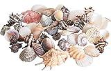 Tropische Meeres Muscheln - GROß 1kg BEUTEL - Heim Deko Design Badezimmer