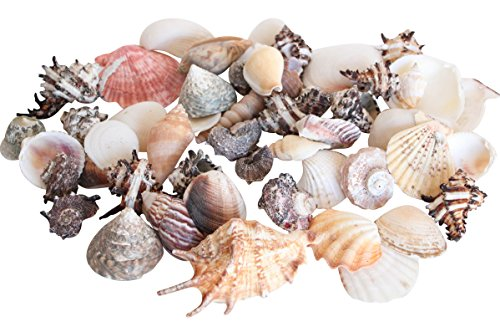 tropical-sea-shells-clams-snail-scallops-beach-decoration-1kg-bag