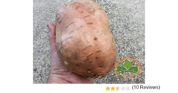 Perdita di promozione semi di patata dolce Batata Mameya di Prorganics 20pcs