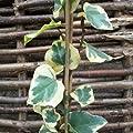 Gelbbunter Efeu 'Dentata Variegata' - Hedera colchica 'Dentata Variegata' 60-80 cm, 4-6 Triebe gestäbt von Gartengruen24 - Du und dein Garten