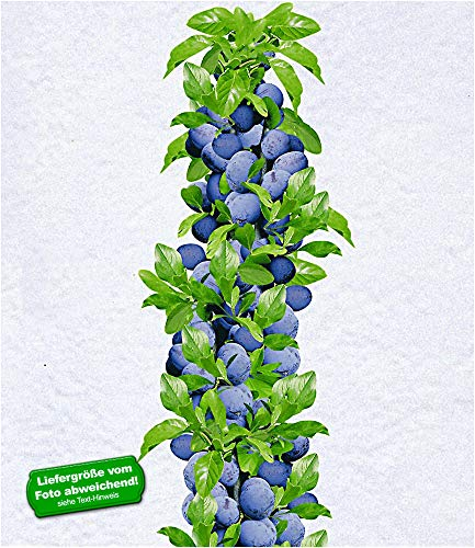BALDUR-Garten Säulen-Zwetschgen 'Anja®', Pflaumenbaum 1 Pflanze, Prunus domestica
