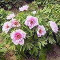 Strauch-Pfingstrose Baumpfingstrose rosa Wolke 10 Samen von SVI - Du und dein Garten