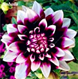 100 cinesi di Charme Pz semi di dalia Bonsai Luminosi Misti Piante Fiori Dahlia Chinese Peony giardino della casa Decor vaso 3