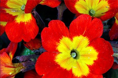 """CUSHY PRIMULA""""Danova copper"""" Blumen-Samen, (10 Blumen-Samen) Bedding Pflanze, Container"""