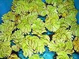 Aquarienpflanzen Salvinia auriculata - Büschelfarn, Wasserpflanzen