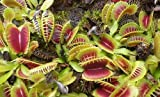Dionaea muscipula H52 - dionea atrapamoscas o Venus atrapamoscas - 3 semillas