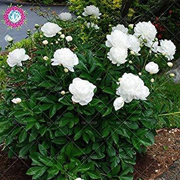 10pcs rares graines d'arbres pivoines blanc Bonsai Paeonia lactiflora Graines de fleurs vivaces de jardin en pot plants.semillas de flores 1