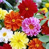 Flower Seeds : Flower Seeds – Dahlia Unwin Dwarf Flower Seeds – Kitchen Garden Pack by Creative Farmer