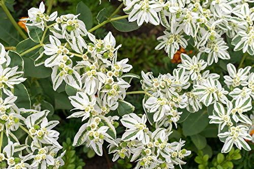 """Wolfsmilch, Bergschnee,Schnee-auf-dem-Berg, (Euphorbia marginata) """"Summer Icicle""""20 Samen (Wolfsmilch Samen)"""
