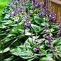 Fash Lady 100 STÜCKE Sementes Blumensamen Hosta Samen Feuer Und EIS Schatten mehrjährige Plantain Blume Bonsai Hausgarten Bodendecker Pflanze 4