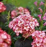 Bauernhortensie Miss Saori® 30-40cm - Hydrangea macrophylla