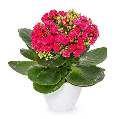 Galleria fotografica ZLKING 100 pc / pacchetto Semi Longevità semi di fiore Kalanchoe Novel stabilimento MINI Ufficio Bonsai decorazione della perenne Flower Garden 1