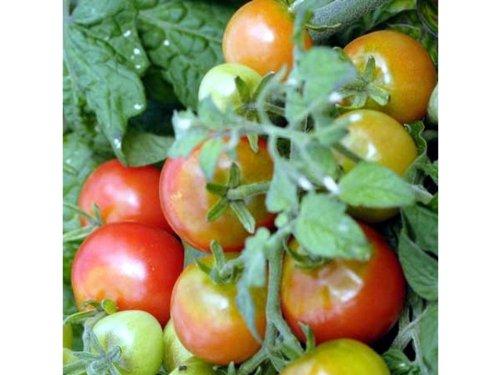 rote-mini-tomate-passt-auf-den-kleinsten-balkon-oder-sogar-auf-die-fensterbank-tiny-tim-20-samen