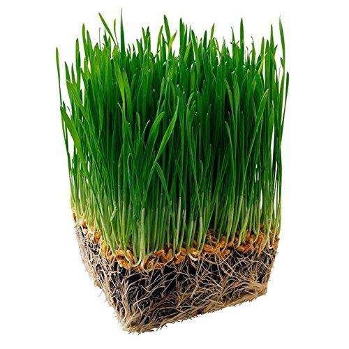 Rowentauk Katzengras Samen, Große Geschenkidee für Pelzbabys, natürliche Hairball Steuerung, Hilfsmittel für Katzen, natürliche verdauungsfördernde Hilfe