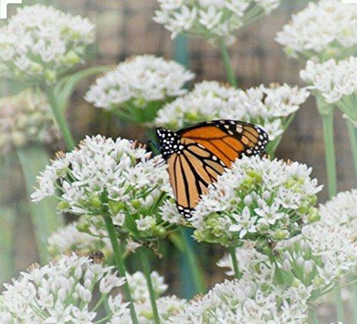 250 + ail Ciboulette herbes graines non OGM-organique à pollinisation libre