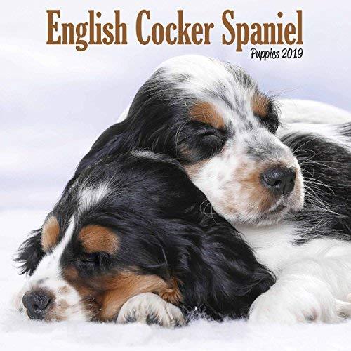English Cocker Spaniel Puppies M 2019