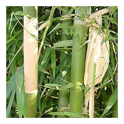 Bambusa nutans – Nepal Bambus – 10 Samen