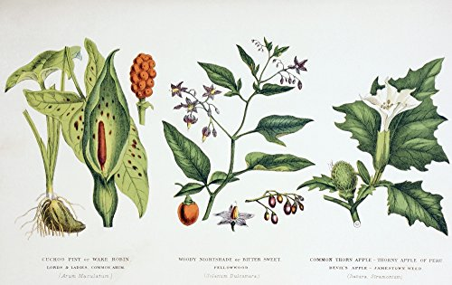Ken Welsh / Design Pics - Common Poisonous Plants. Left To Right: Cuckoo Pint Or Wake Robin. Lords & Ladies. Common Arum. (Arum Maculatum); Woody Nightshade Or Bitter Sweet. Fellowwood. (Solanum Dulcamara); Common Thorn Apple. Thorny Apple Of Peru. Devil's Apple. Jamestown Weed. (Datura Stramonium). From The Household Physician Published Circa 1890. Photo Print (45,72 x 27,94 cm)