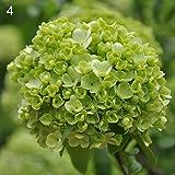 FOReverweihuajz Pure Color Hortensie Blumen Samen (weiß/lila/Rosa/grüne Farbe) wunderschöne Blume mehrjährige Pflanze Garten Bonsai Hochzeit Party Dekor-50Pcs