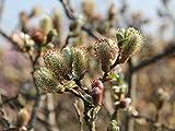 Schweizer Weide - Salix helvetica - Containerware 30-40 cm - Garten von Ehren®