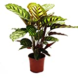Shadowplant with unusual leafpatterns - Calathea roseapicta - 14cm pot - 45-50cm tall