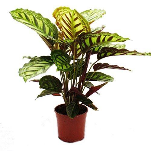 Schattenpflanze mit ausgefallenem Blattmuster - Calathea roseapicta - 14cm Topf - ca. 50cm hoch