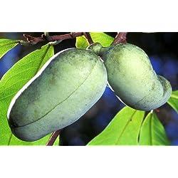 PAW PAW, Asimina Triloba,Indiana Banana, winterhart, 5 stratifizierte Samen (fertig zum pflanzen)