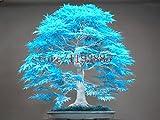 / bag bonsai blu acero semi bonsai semi dell'albero 20pcs. cielo giapponese raro seme blu acero. piante da balcone per giardino di casa