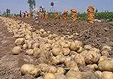 100 pcs Mini géant Graines de pommes de terre pourpre Anti-rides Nutrition verte légumes pour jardin Plantation Semences de pommes de terre